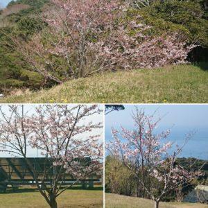 4月10日前後、マンガアイランドの桜です。