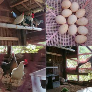 広い鶏小屋で元気においしい卵を産んでください。