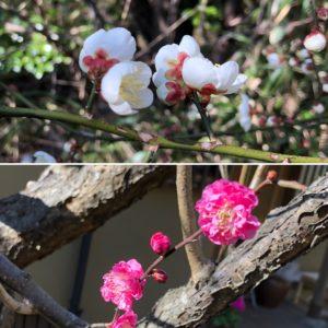 日当たりの良い斜面の梅の花もほころび始めました。
