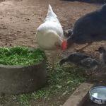 スーパー7と親鳥たちの食事風景